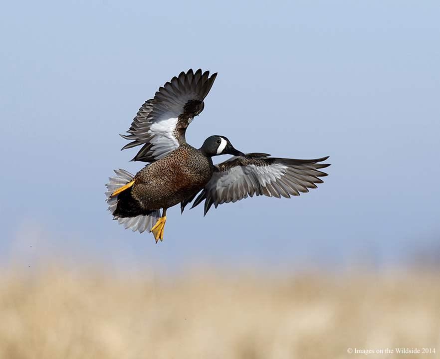 Northern States Push For Early Teal Seasons