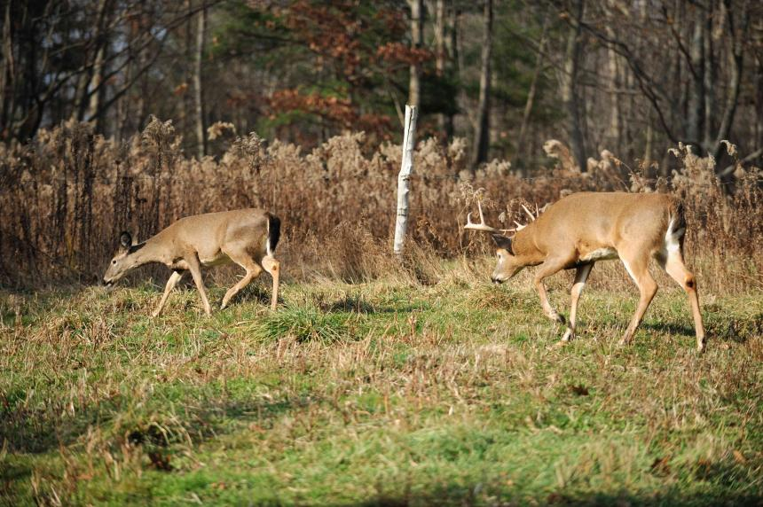 The Chasing Phase Of The Whitetail Rut Deer Hunting