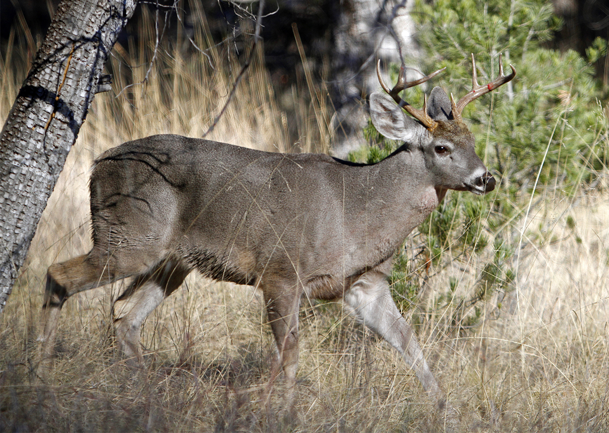 5 Steps To Killing A Coues Whitetail Deer Hunting Realtree Camo