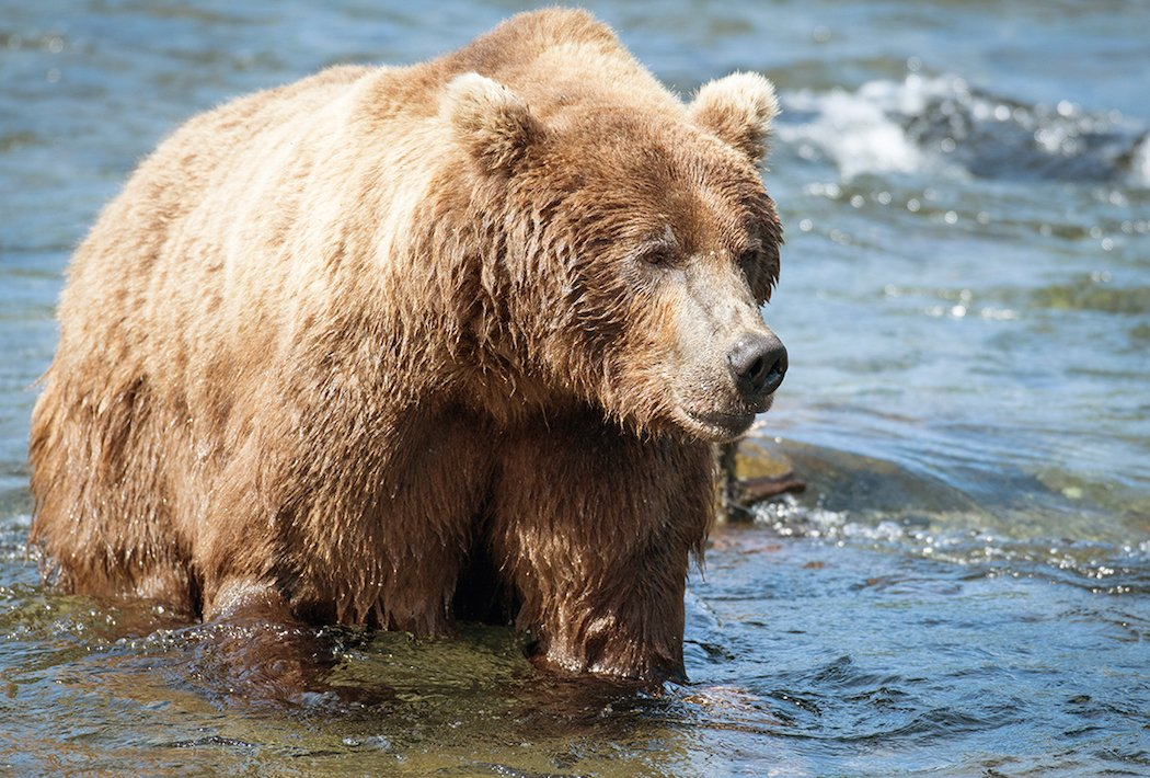 animals game north american super slam hunting bear alaska need brown realtree shutterstock