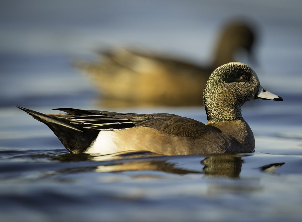 Duck hunting nation oregon for Wa fishing license cost