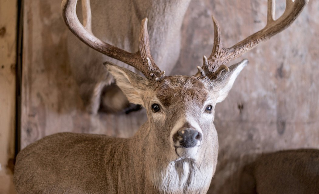 7 Different Deer Taxidermy Options and Their Costs
