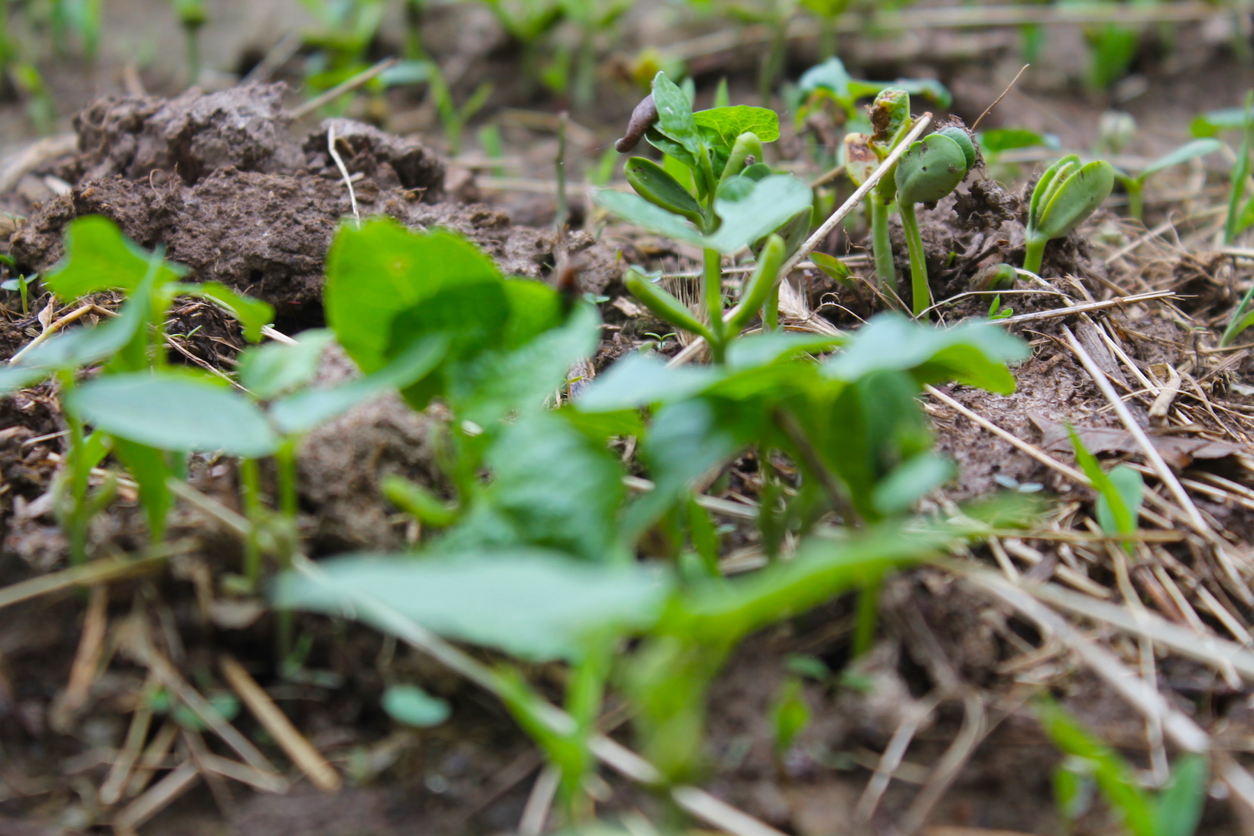 How To Plant A Micro Kill Plot For Deer Food Plots And