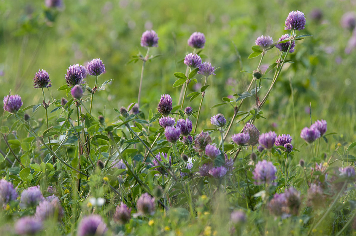 Food Plot Seed How To Plant Red Clover Food Plots And Land