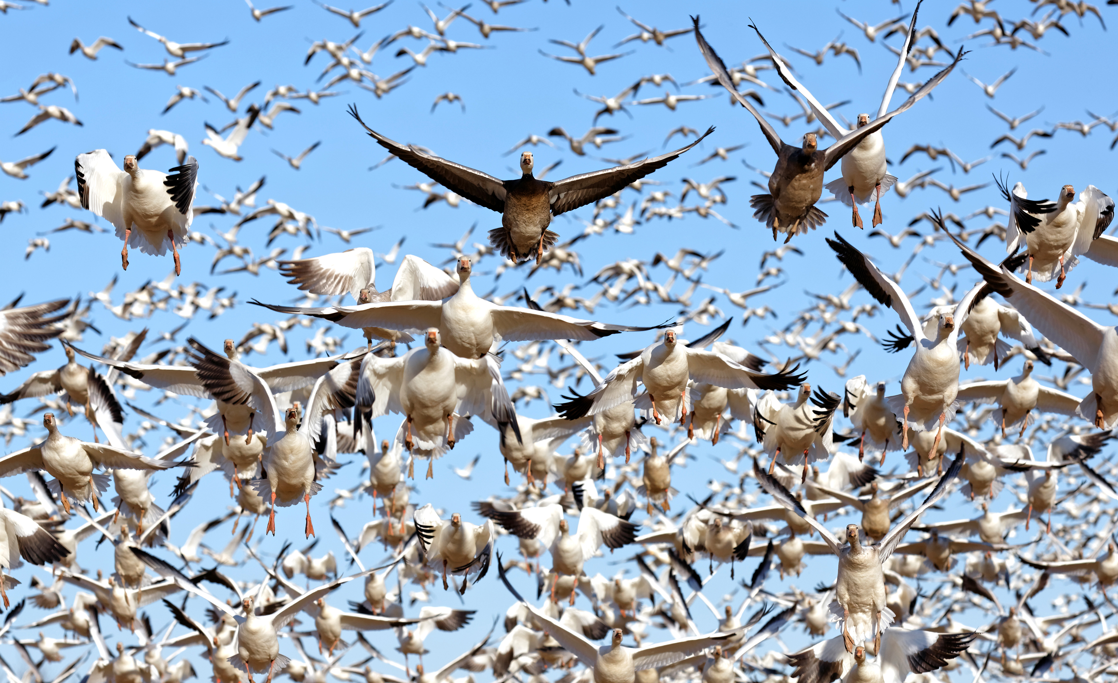 Light goose numbers — specifically lesser snow geese — have increased dramatically the past few decades, prompting biologists to open spring conservation-order seasons for them. Photo © Delmas Lehman/Shutterstock