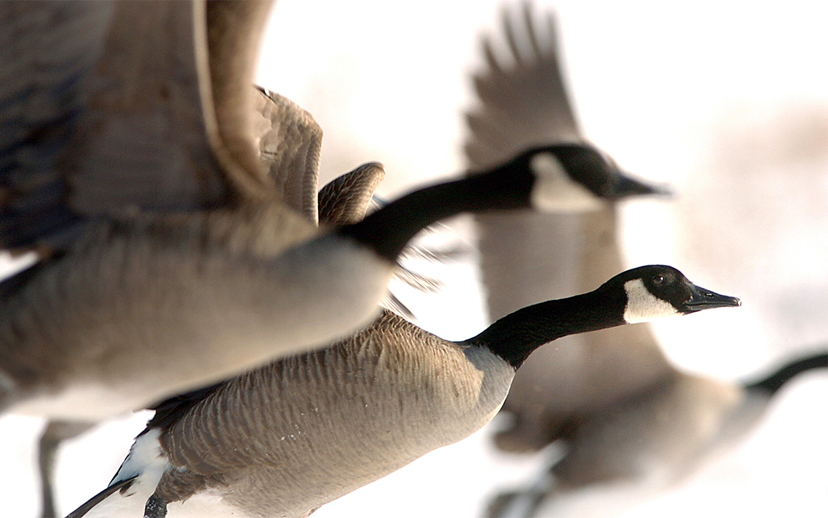 Canada geese are widely distributed across North America and provide great hunting opportunities from late summer through winter. Photo © Bill Konway