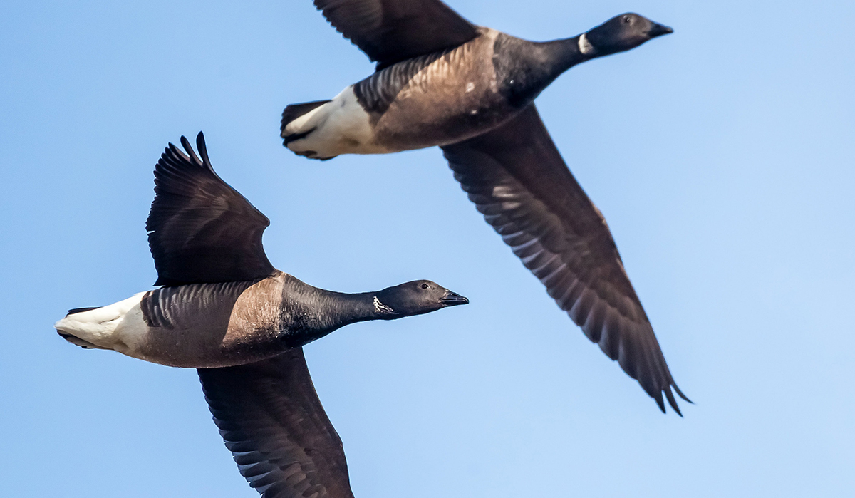 Brant are marine geese that come in two varieties: Atlantic and Pacific. Photo © Mario Hoppmann/Shutterstock
