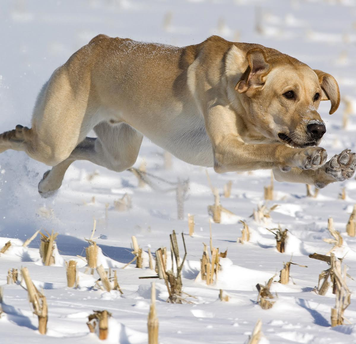 A solid gun dog is invaluable in the field