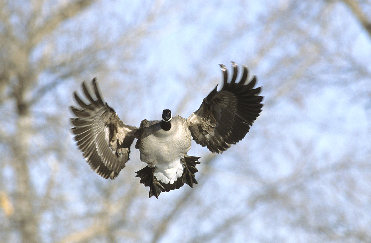 How to Goose Hunt. Photo © Images on the Wildside