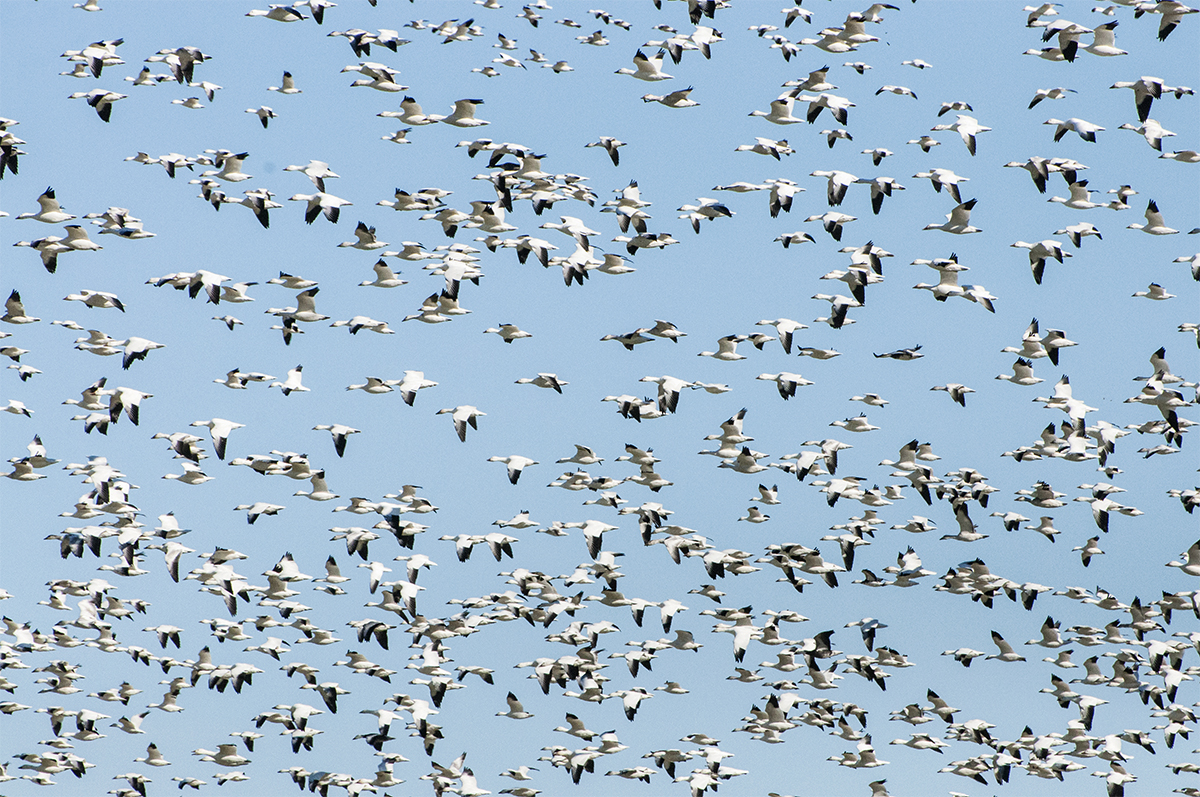 Central Flyway Report: Birds Abound, Opportunity Remains