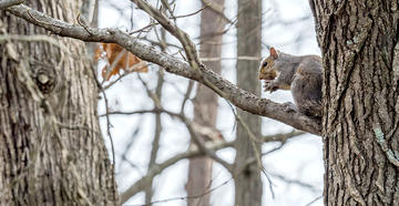 Do you hunt squirrels for these reasons? © Gary Rolband-Shutterstock photo