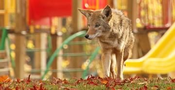 Young Child Barely Escapes Coyote Attack -- ©Trevor Clark-Shutterstock