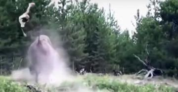 Yellowstone Bison Tosses Child Into the Air