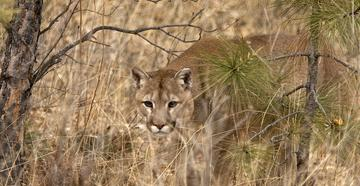 Mom Pries Mountain Lion's Mouth Open to Save Son -- ©Images On The Wildside-mountain-lion.jpg