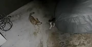 Watch Cat Defend Itself Against Coyote