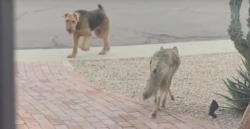 Watch Dog Play With Wild Coyote