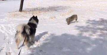 Watch Husky Play with Coyote