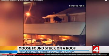 Man Discovers Moose on His Roof