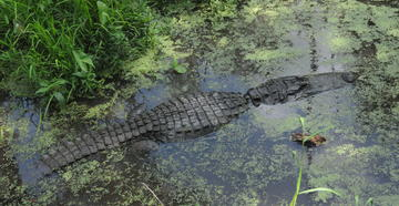 Woman and Child Climb Into Alligator Pit to Retrieve Wallet
