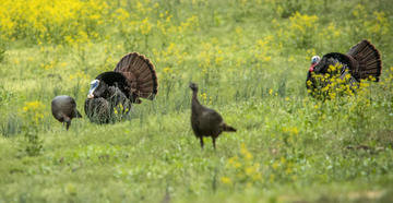This science-based management effort is to boost turkey breeding success as populations decline.