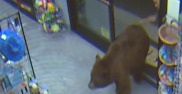 Bear Repeatedly Enters Lake Tahoe Gas Station, Customer Smacks It on the Butt