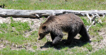 Grizzly Bear Euthanized After Attack on Montana Hiker -- Image by Stephanie Mallory