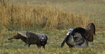 If you can't wait to get a jump on spring gobblers, it's time to pack your bags. (© Tes Randle Jolly photo)