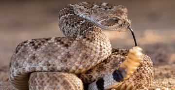 Security Footage Shows Moment Rattlesnake Bites 4-Year-Old Alabama Boy - © Alexander Wong-Shutterstock