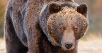 Grizzly Attacks, Injures Two Montana Hunters  (© Dennis W Donohue/Shutterstock)