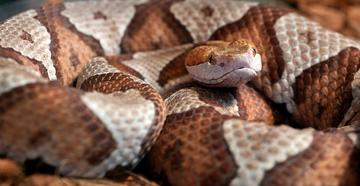 Copperhead Hiding in Toy Pile Bites Toddler (© jadimages-Shutterstock)