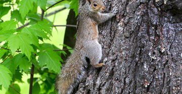 Springtime squirrel hunting provides opportunities to get outdoors and put food on the table. © Justin Dutcher-Shutterstock photo.