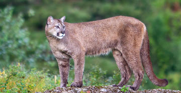 Mountain Lion That Attacked Officer Tests Positive for Rabies -- ©Russell Graves