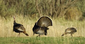 Have you done these 10 dumb things while turkey hunting? (© Tes Randle Jolly photo)