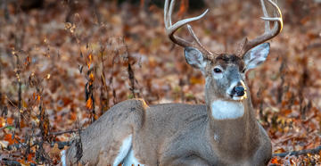 How to hunt big buck bedding areas. (Tony Campbell / Shutterstock)