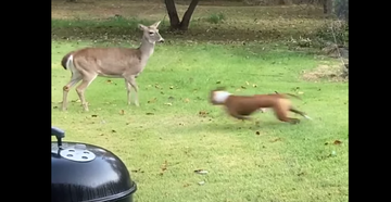 Dog Chases Deer, Soon Regrets It