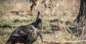 Overlapping turkey and deer seasons can be a bonus for the dual-threat hunter.