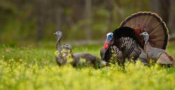 Gobblers with girlfriends require some different strategies.