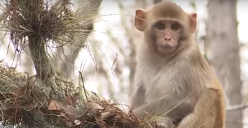 Population of Herpes-Infected Monkeys Spreads to Florida's First Coast