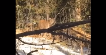 Young Female Hunter Shoots Mountain Lion Before It Can Attack