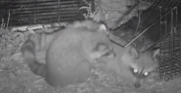 Watch Baby Raccoon Free Its Mother From Trap