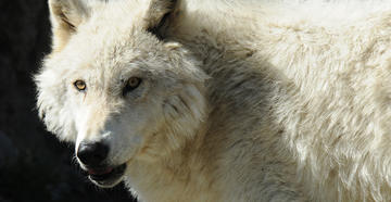 Colorado Voters to Decide on Wolf Reintroduction -- image by Stephanie Mallory