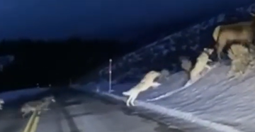 Yellowstone Visitor Films Wolf Pack Chasing Elk