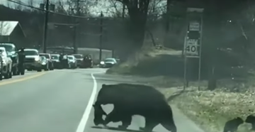 Watch as a flustered mama bear tries to get all four of her cubs safely across the road.