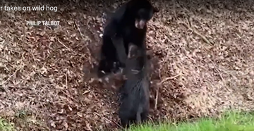 Visitors to Great Smoky Mountains National Park Capture Footage of Bear Taking Down Wild Hog