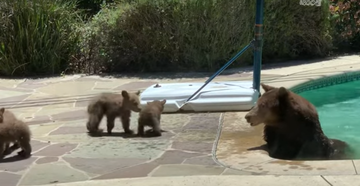 Watch: Mama Bear Relaxes in Backyard Pool While Cubs Play Nearby