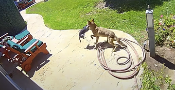 Watch: Couple Saves Chihuahua From Coyote's Jaws With Air Horn