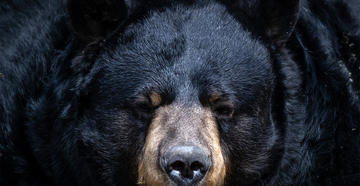 Bear Bites Alaskan Woman's Bottom in Backcountry Outhouse - Image by Clayton Rowe / Shutterstock