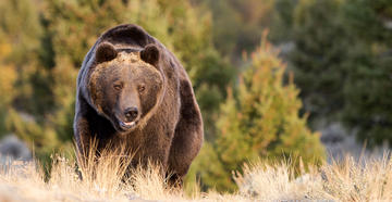 West Yellowstone Hiker Attacked by Grizzly Has Died - Image by Dennis W. Donohue / Shutterstock