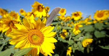 These sunflowers are pretty now, but they'll be at their best when they're dried up and dropping seeds for doves. Photo by Images on the Wildside