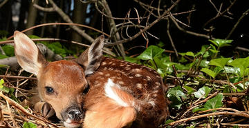 What Really Kills Whitetail Fawns?